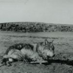 Lobo in the four traps, taken by ETS January 1894 Philmont collection CH1_edited-1