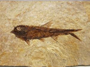 4-72-GemShow_FishFossil2